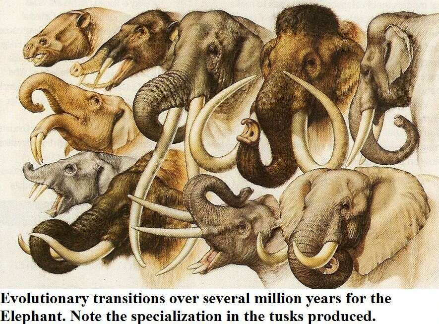 the evolution of the elephant specie essay