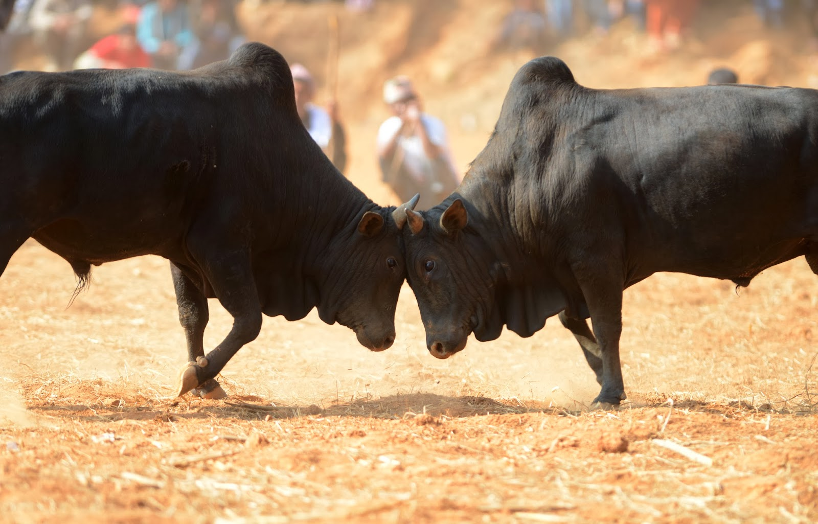Bulls Fighting during Nepalese Maghesangranti Festival at Kathmandu