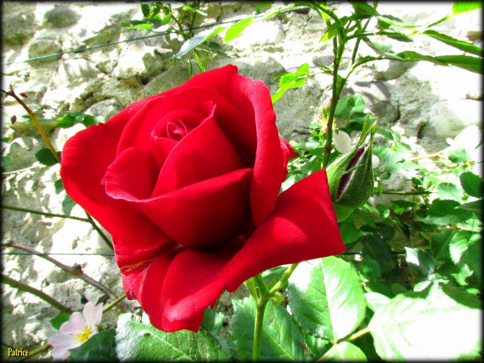 Bon Dimanche Jolie+rose+rouge