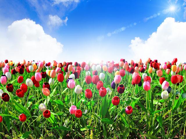 Ảnh đẹp cuộc sống: Bộ hình nền đẹp về cánh đồng hoa Tulip 1