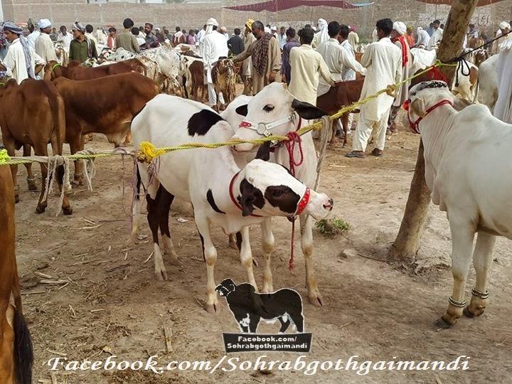 Zahir Pir Chowk Mandi 2014 Cattle market 2014 sohrab goth gai mandi