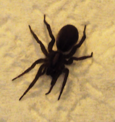submitted pics wolf spiders michigan spiders