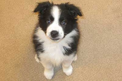 dog training versus puppy training