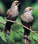burung cucak rowo jantan