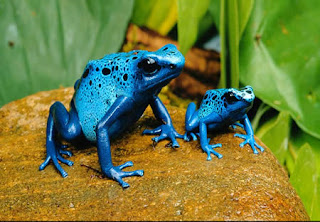 Weirdest Frogs On Earth Poison Dart Frog
