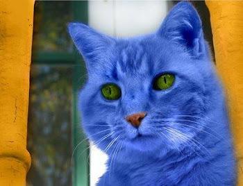 un precioso Gato Azul que me enviaron