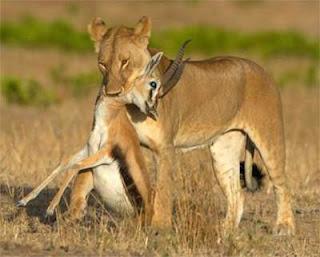 Kegunaan gigi taring pada hewan karnivora