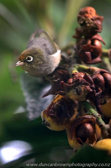 My World - Waxeye in my loquat tree photograph