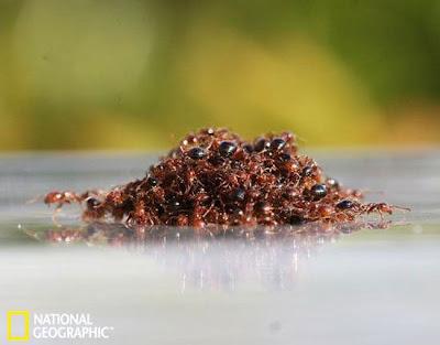 火蟻救生艇 火蟻用肉身組成 救生艇躲過洪水