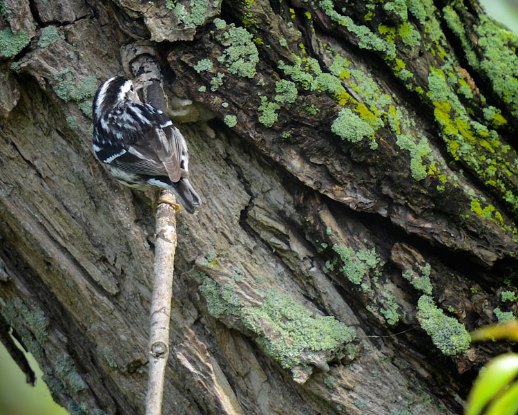 ...a female Black and White warbler forages for insects. She creeps along branches and the trunk like a nuthatch!