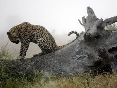 2011 Best Wallpapers Leopard