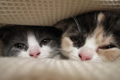 Scottish Fold Brother and Sister Cats Seen On www.coolpicturegallery.us