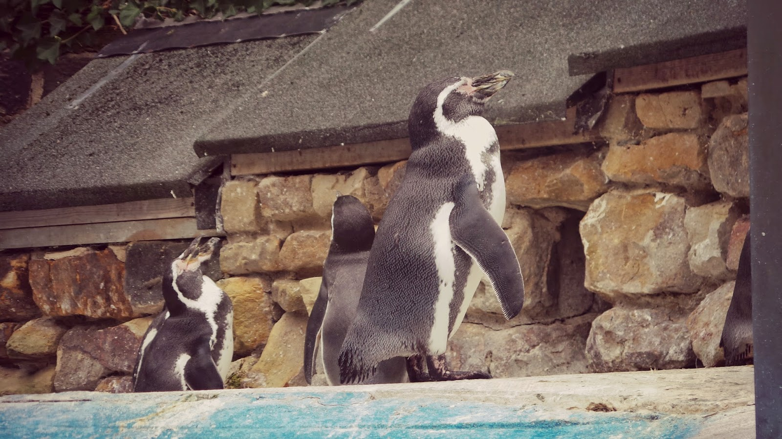 Feed the penguins at harewood house yorkshire