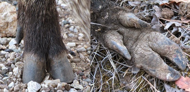 Javelina Have A Single Fused Dew Claw On Each Back Leg Left While All Swine Including Feral Hogs Right Have Two Dew Claws On Each Back Leg Images