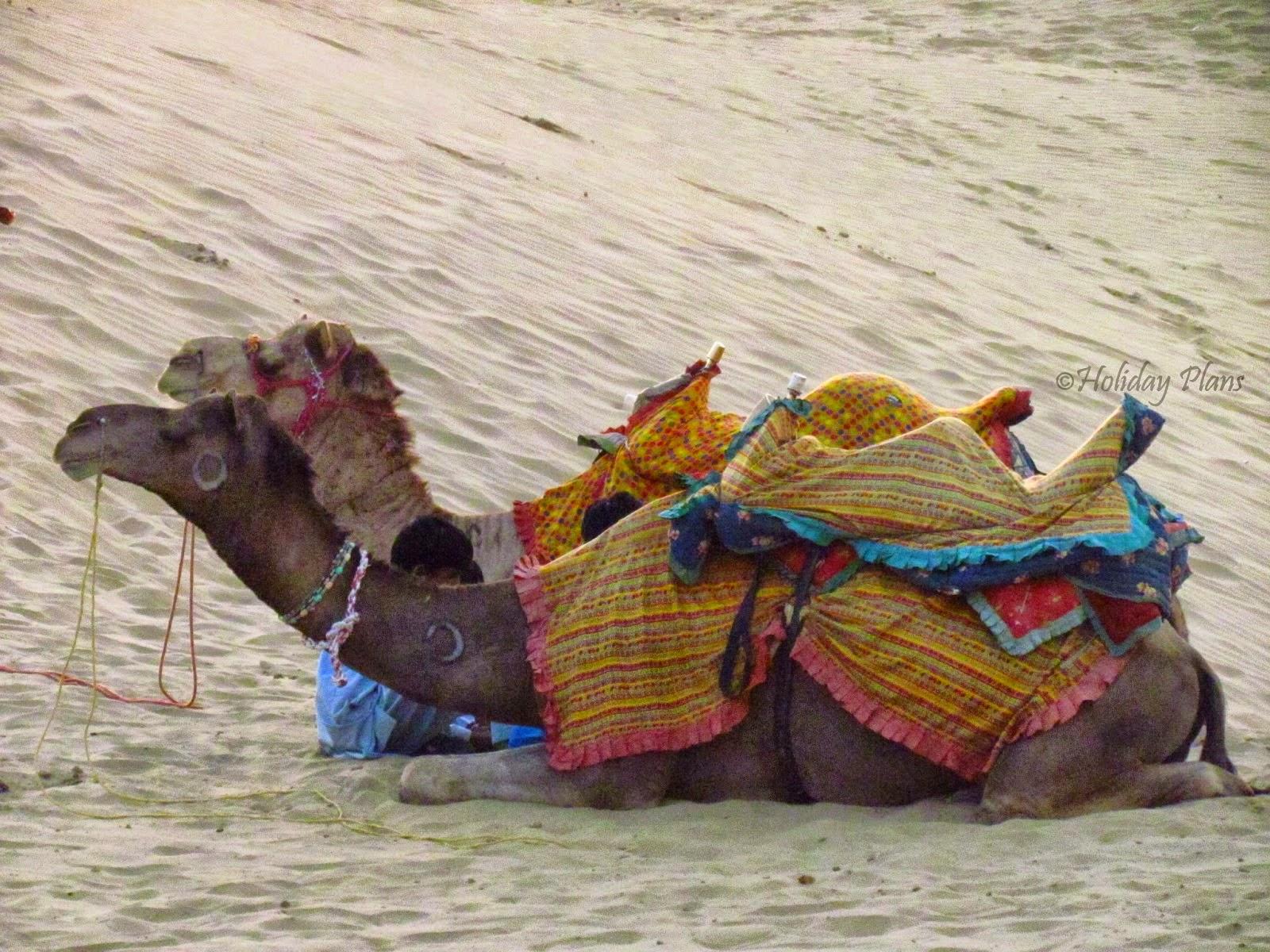 camels at Thar Desert in Jaisalmer, Rajasthan