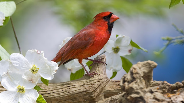 Red Bird Look Like Angry Birds HD Wallpaper