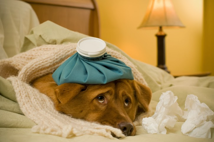 Sick as a dog with the flu