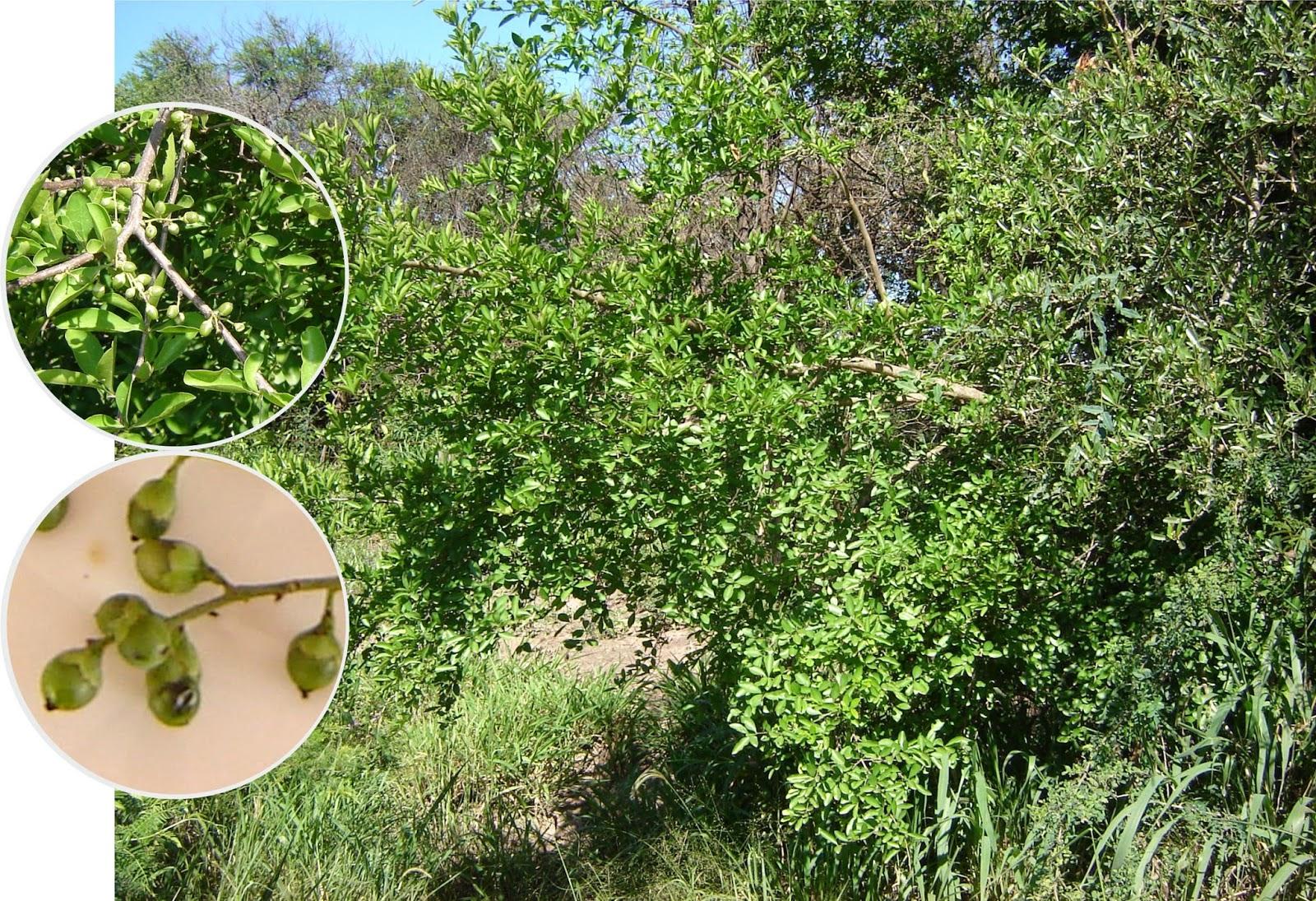 V e r d e c h a c o palo tinta tala negro for Arboles perennes en argentina