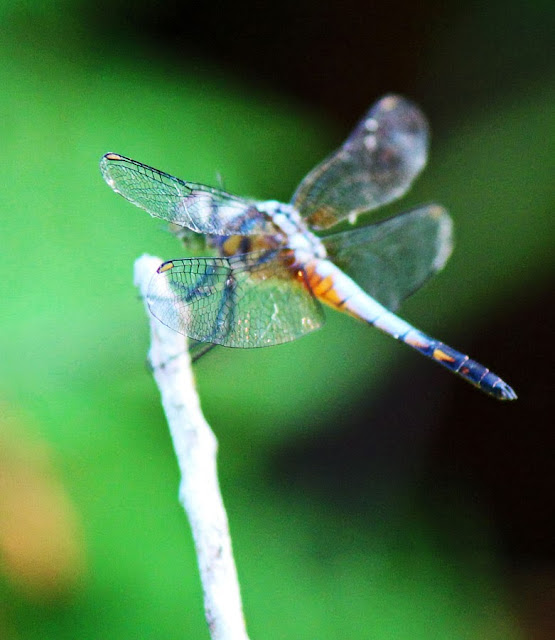 Turquoise blue dragonfly