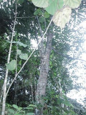 Mengenal Lebih Dekat Pohon Melinjo