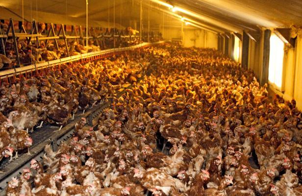 Socialistes chasseneuil 10 02 13 17 02 13 for Duree de vie des poules pondeuses