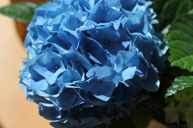 Blaue Hortensie