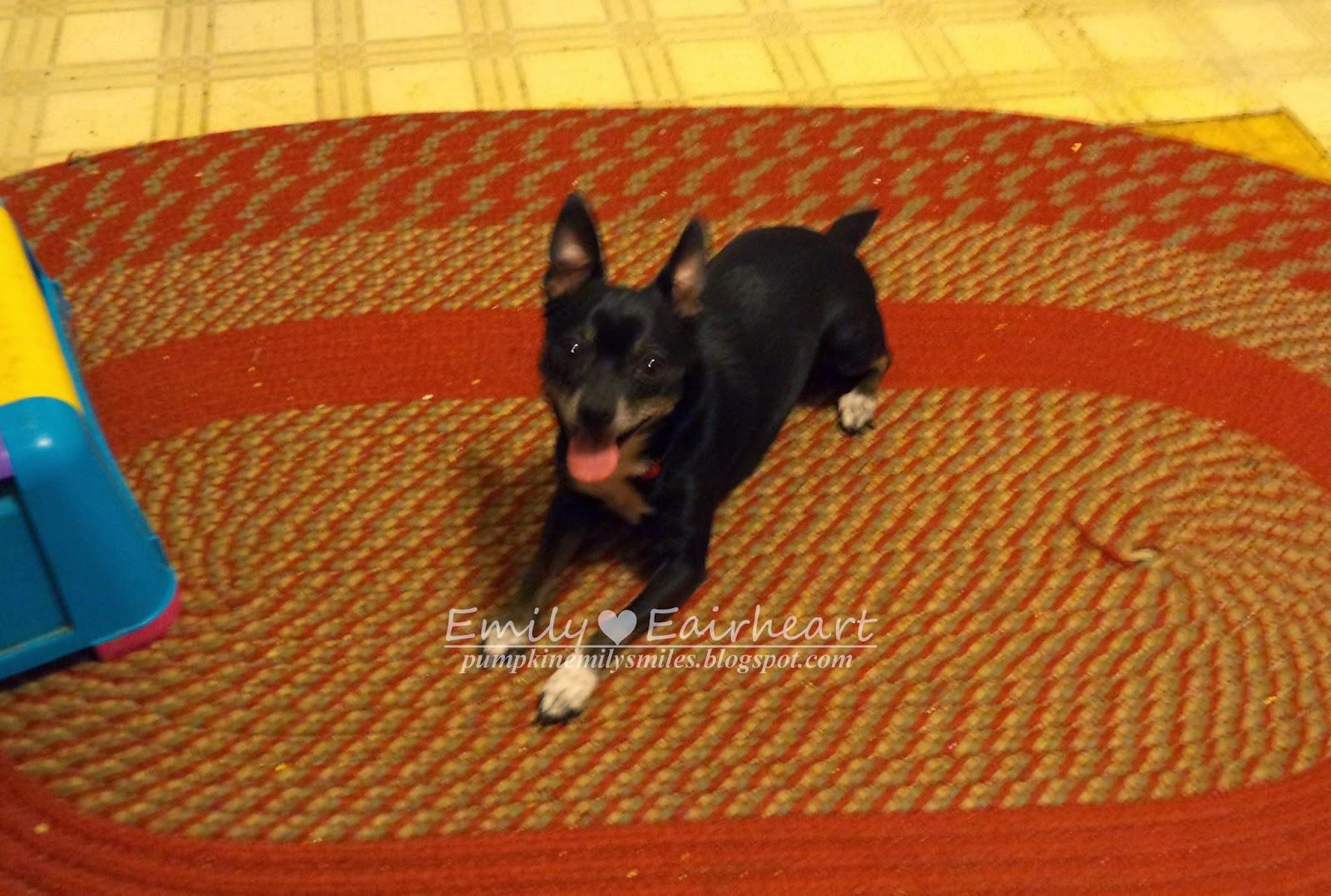 Minnie Chihuahua