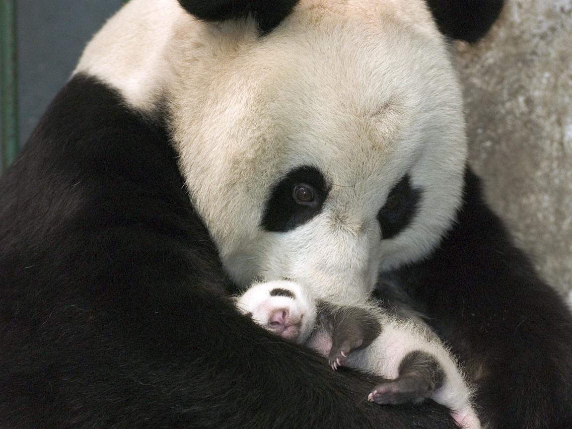 Обои спит, мишка, отдых, Панда, детёныш. Животные foto 12