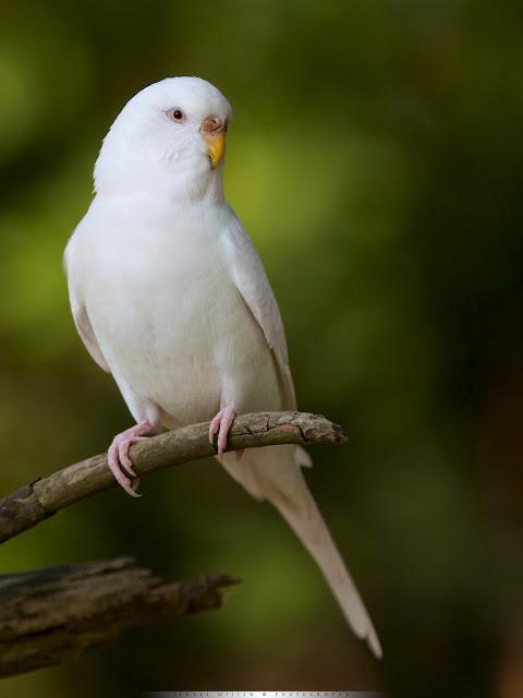 Ontsnapte Grasparkiet - Escaped Budgerigar - Melopsittacus undulatus