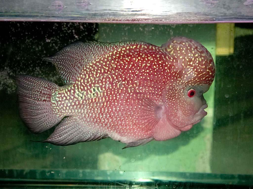 Flowerhorn The Hybrid Cichlids BiG Head Flowerhorn Fish