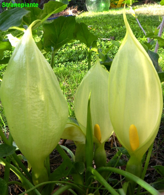 Araceae for Calla pianta