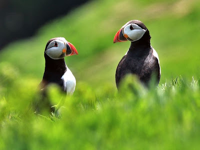 puffins pair love birds picture