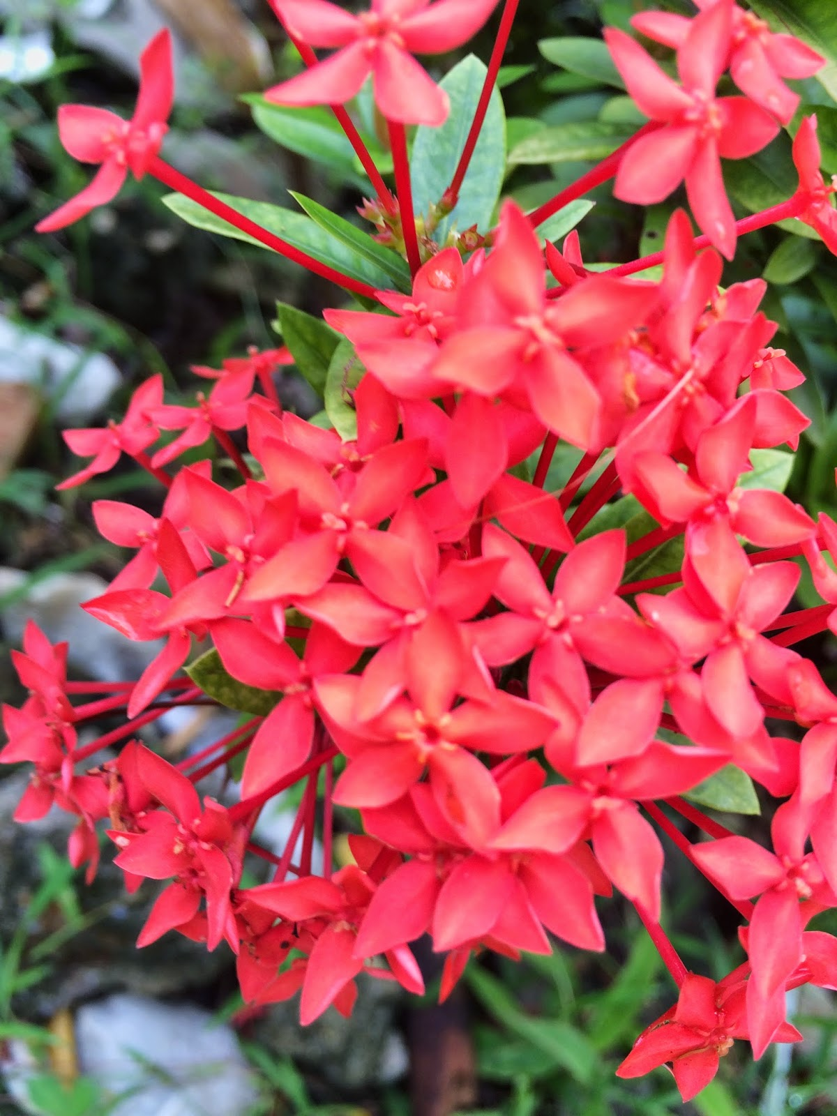 Close up Picture of red dwarf ixora