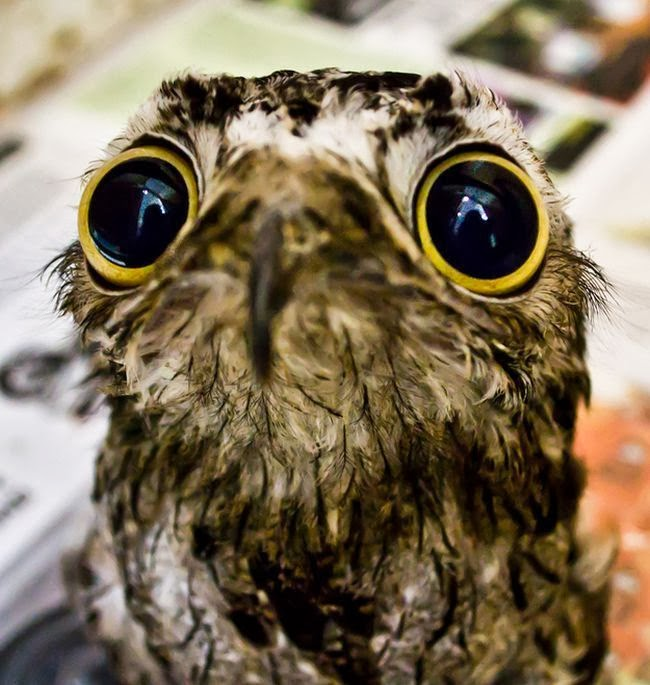 Potoo+with+limited+golden+eye+section,+B