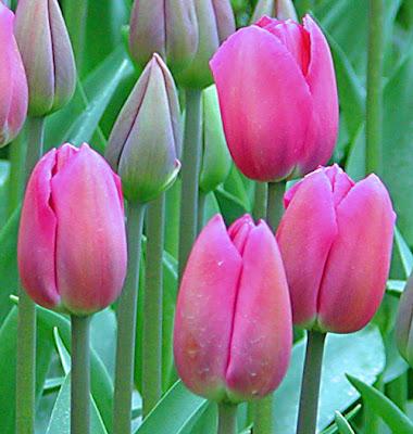 Почему мельчают тюльпаны?