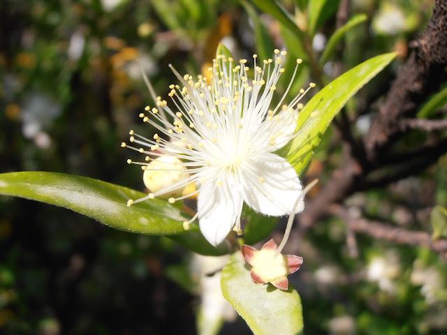 Fotos, vídeos y descripción del Arrayán (Myrtus comunis)