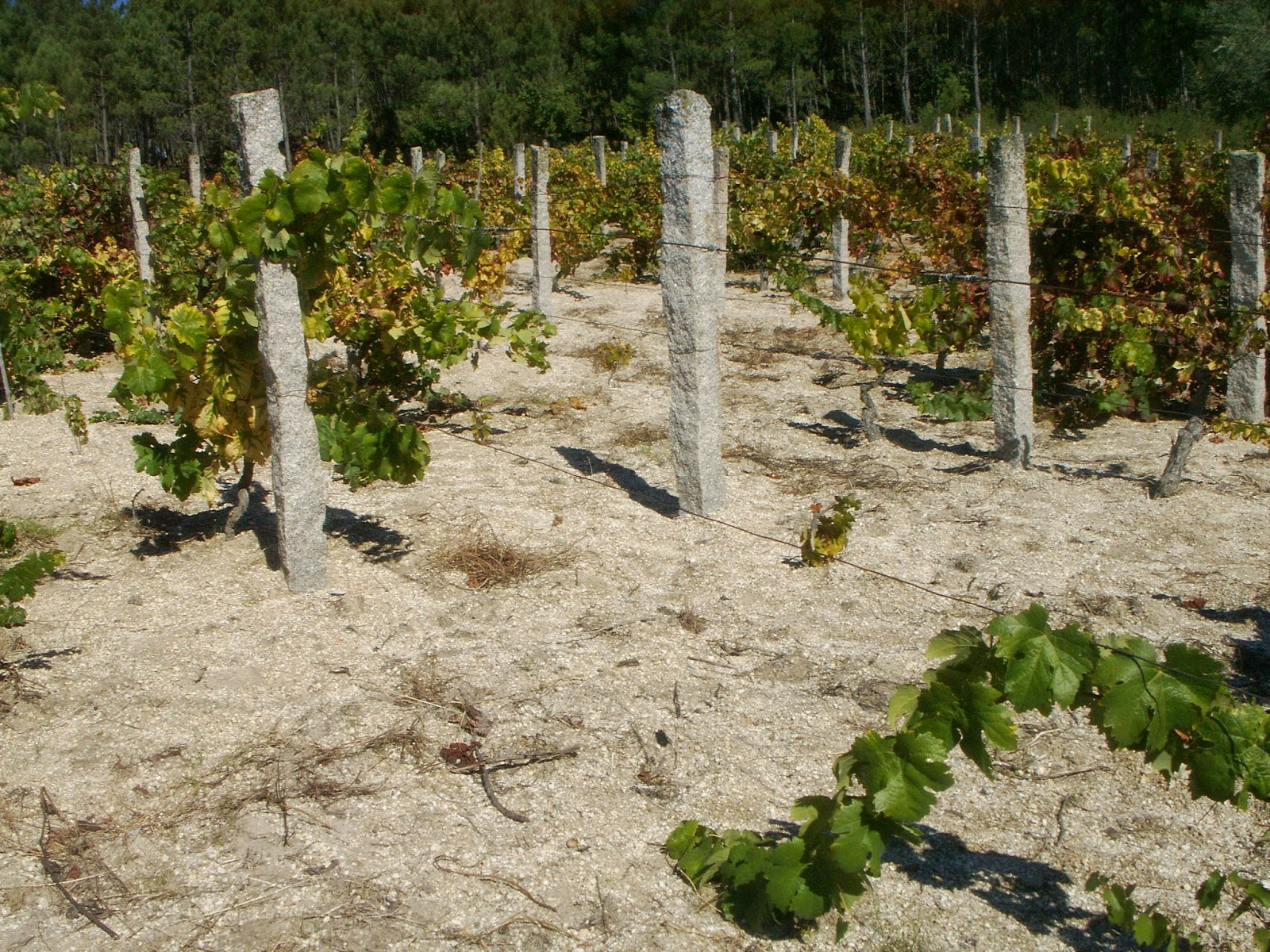 nivel de viticultura este projecto sera a principal novidade do ano  #4C5E18 1600x1200