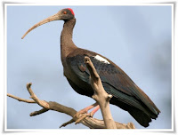 Ibis Animal Pictures