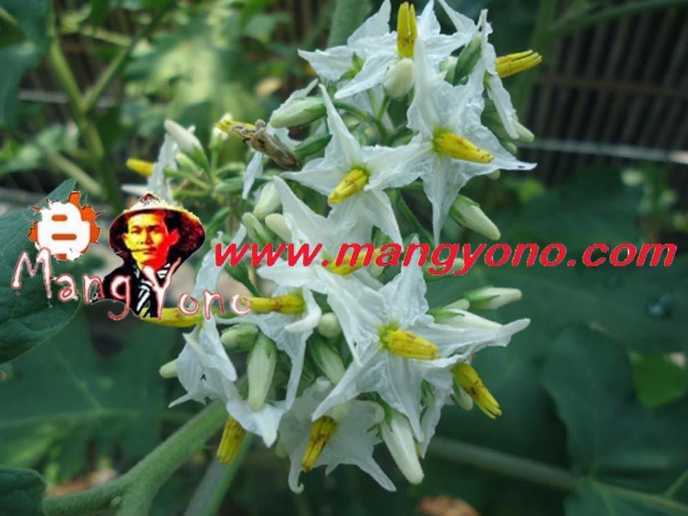 Bunga Takokak, Rimbang, Terung Pipit (Solanum Torvum)