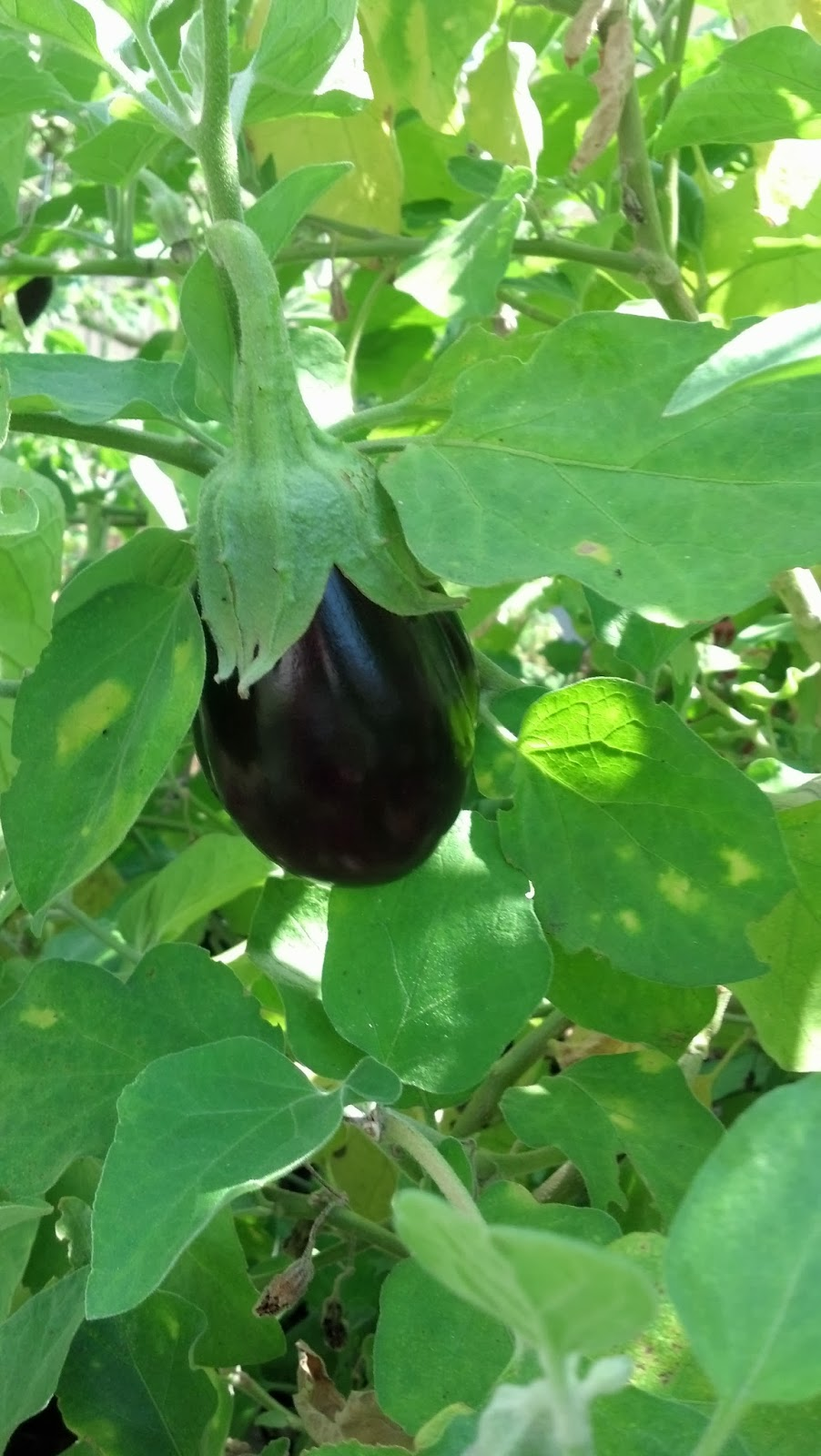 When to sow an eggplant
