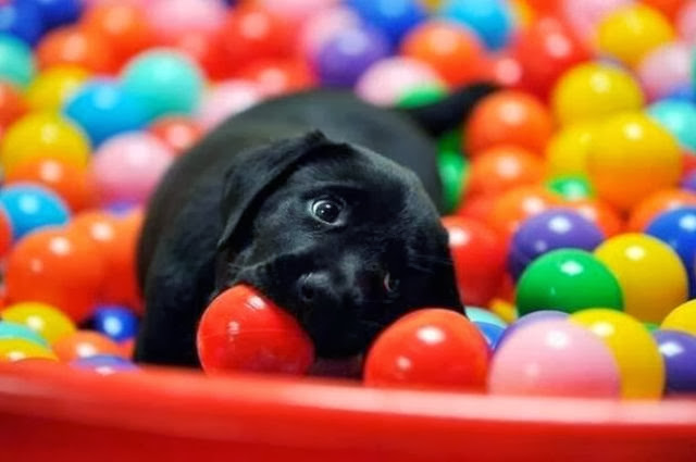 Cute dogs (50 pics), dog pictures, puppy plays in ball pit