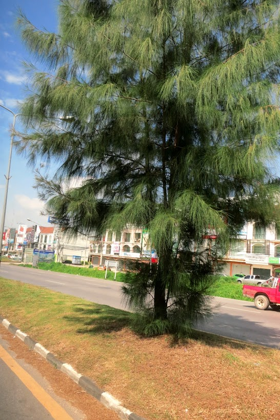 Phuket Pine tree in the middle of highway
