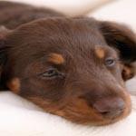 anjing mimisan
