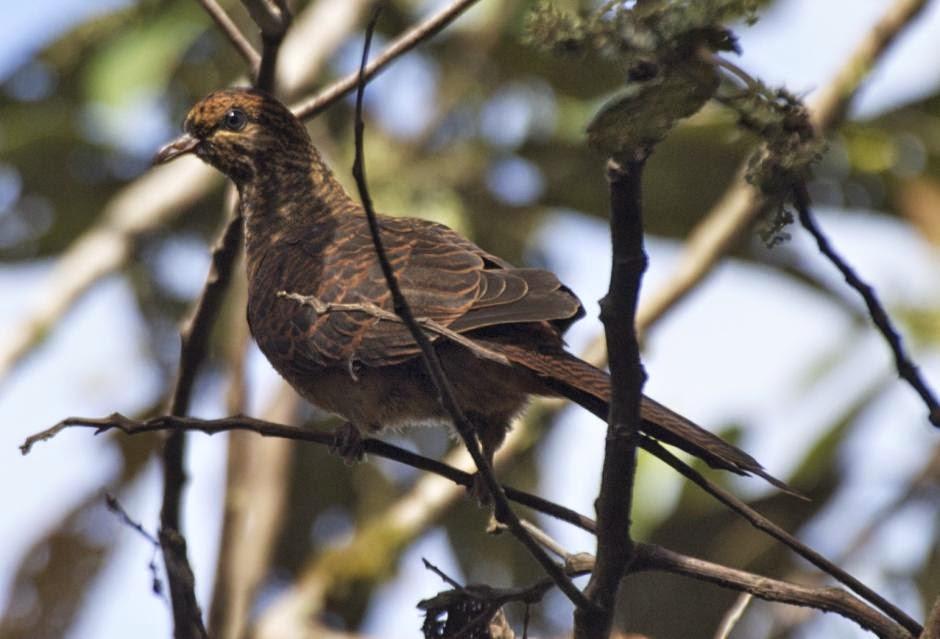 black billed cuckoo dove