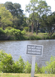 Yes there really were cranky alligators in that pond.