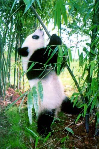 Gambar Panda Part II \^^/