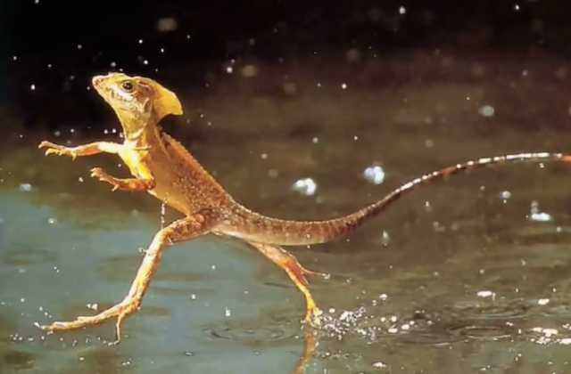What the ....? 'Jesus Lizard' Walked on Water in Wyoming Long Before God's Son