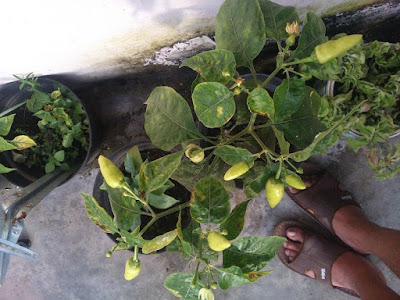 menanam cabai dalam pot