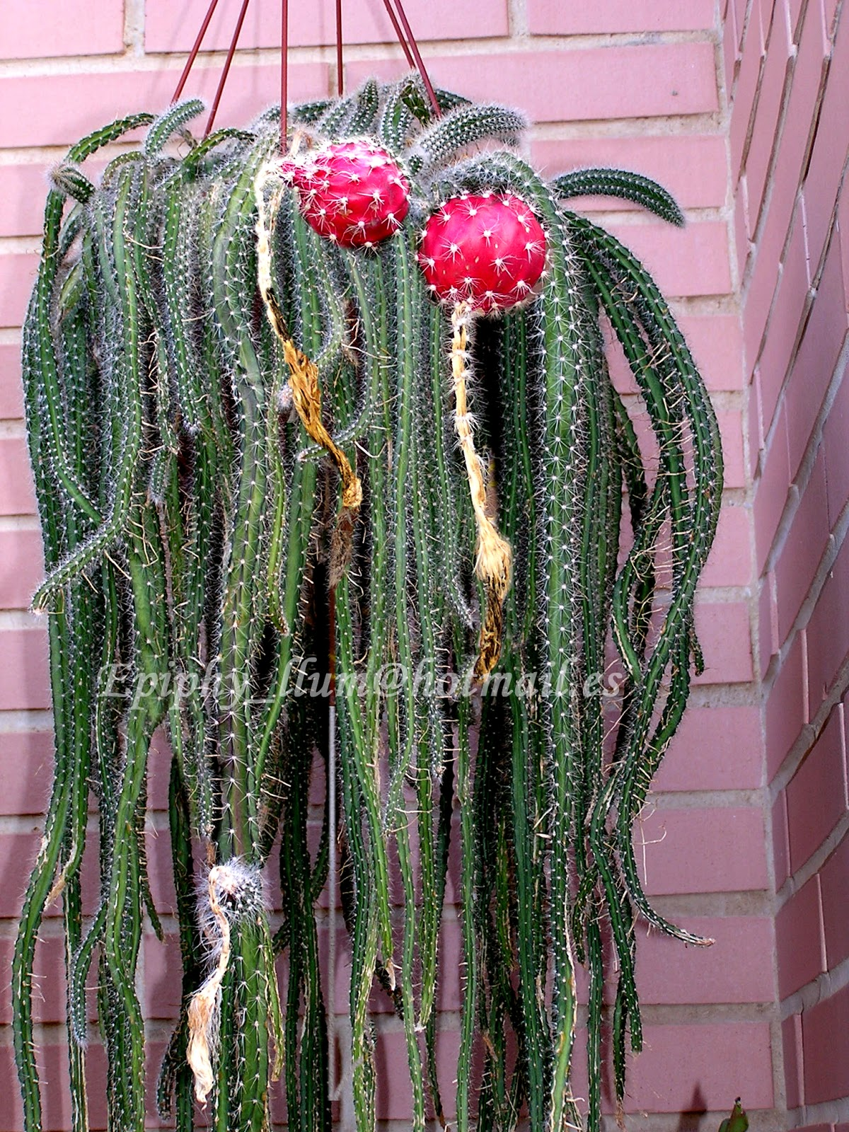 Epis llum for Cactus cuidados exterior