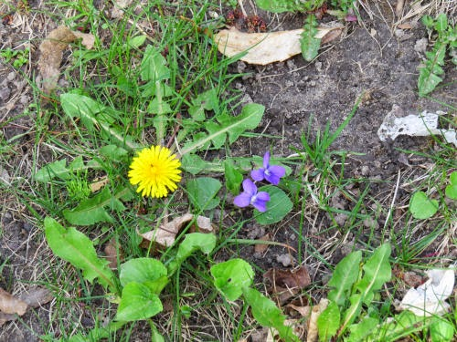 dandelion and violet